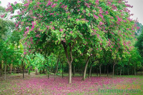 柳州市树、市花小叶榕洋紫荆获全票推选