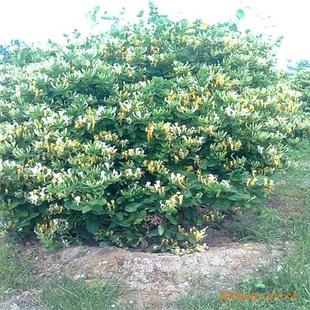 中国金银花之乡优质金银花苗木