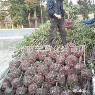 【专业种植销售金丝楠木树苗.小树.大树