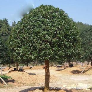 【四季桂】供应12-15-18公分优质桂花树,桂花,桂花树价格