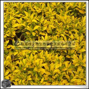 变叶木 > 变叶木 > 洒金变叶木 常绿灌木 可做插叶材