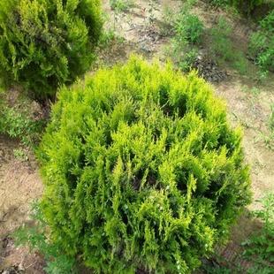 洒金柏,撒金千头柏,绿篱色块用苗,彩色球类,绿化景观用苗