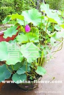 青州盆栽优质荷花 莲花 睡莲基地 指导价 青州盆栽优质荷花 莲花 睡莲