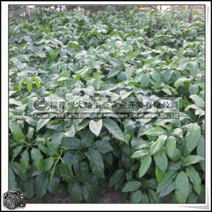 大叶伞 常绿乔木 盆栽植物