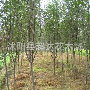 苗圃销售木瓜树苗,六道子,降龙木-首选景观树种