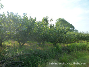 供应大樱桃树指导价 供应大樱桃树厂商 供应大樱桃树厂商 图 尽在农苗图片