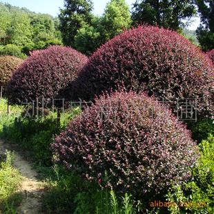 树红花的自然风景