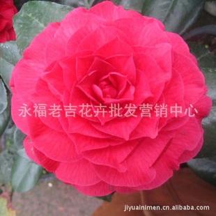 茶花新品 青叶贝拉大玫瑰 扦插苗正品 实物拍图片