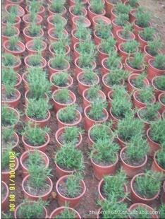 自有种植基地,长期供应迷迭香绿化苗 美化环境,芳香空气