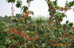 大樱桃管理,大樱桃种植,拉宾斯 图 ,大樱桃苗,大樱桃树苗指导价 图片