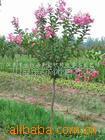 供应:紫叶桃、红枫、红瑞木(图)