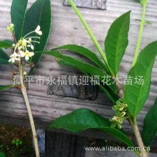 绿桂花 桂花新品种 玉玲珑 绿玲珑 批发价 盆栽苗木 花叶共赏图片