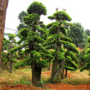 飞林苗圃供应 榆树树桩 盆景 树木盆景 榆树 造型榆树供应商 湖南飞林