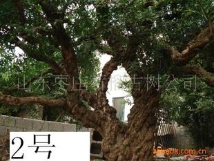 老石榴树.石榴盆景.石榴树桩.优质果石榴树.百年古石榴树供应商 老石榴