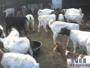 供应致富经 改良羊 多品种波尔山羊指导价 供应致富经 改良羊 多品种波