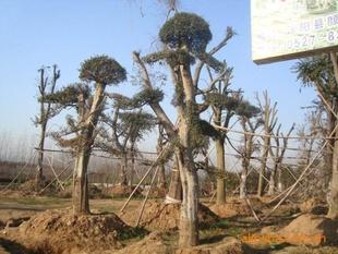 供应精品榆树桩景 榆树桩景,小叶女贞桩景,高2米 5米