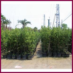 罗汉松苗 罗汉松大量批发 盆栽观赏树苗 罗汉松树苗批发 带泥另议