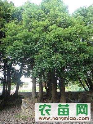 多头精品香樟,大,小叶榕,枇杷树