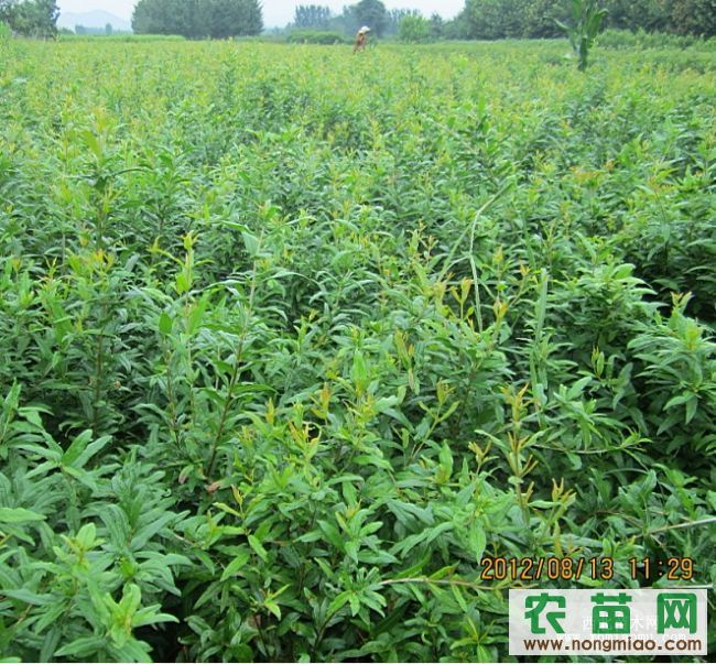 壁纸 成片种植 风景 灌木 绿化苗木 苗 苗木 树 植物 种植基地 桌面 6