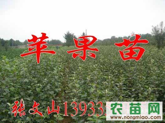 河北昌黎大量提供1-5年生优质苹果树,富士,昌红,寒富,嘎啦