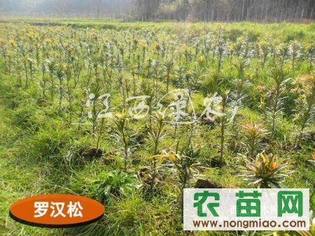 高档绿化观赏树种