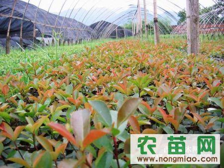 红叶石楠工程苗红叶石楠价格红叶石楠球红叶石楠图片红叶石楠大苗