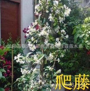 攀缘植物室内花卉盆栽植物茉莉花苗银丝茉莉双色茉莉