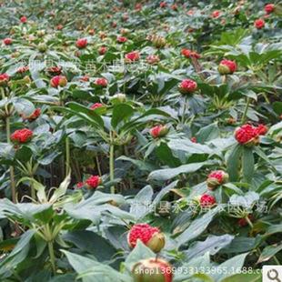 优质重楼苗,粉质重楼七叶一枝花独脚莲种子重楼种子供应商 优质重