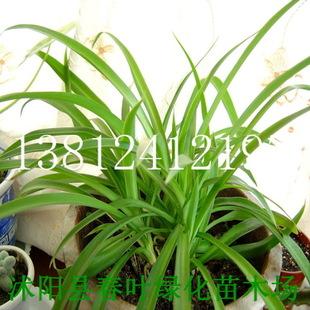 【苗圃直销】室内小盆栽净化空气金边吊兰青叶吊兰盆景图片
