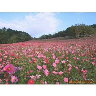 厂家直销批发供应紫云英等小灌木等草种草籽-茉莉-农