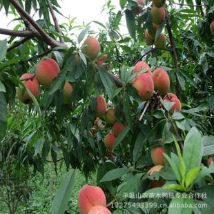 供应桃树苗新品种嫁接桃树苗子早熟桃树水蜜桃苗桃树苗