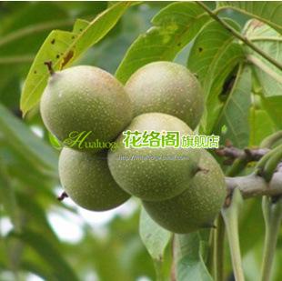 新品种核桃树[漾濞核桃]抗逆性强.寿命长.高产果树