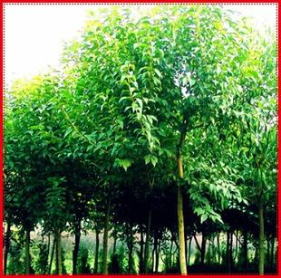 供应绿化苗木乔木类【乌桕】腊子树桕子树木子树规格齐全