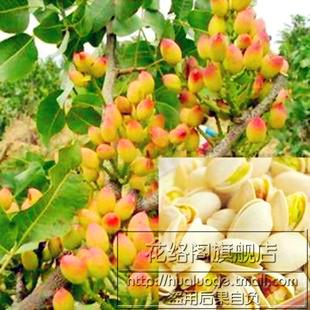 美国进口最新改良品种果树苗木开心果黄子可花卉盆栽当年结果