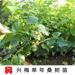 【兴梅】1年精品嫁接桑葚果树苗木桑树苗庭院绿植盆栽