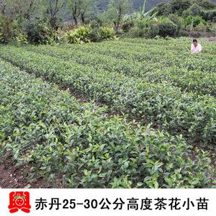 0cm高度赤丹茶花树苗木 新品种花卉庭院绿植室内盆栽