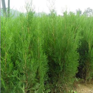 供应:绿化苗木-色块绿篱苗,侧柏-别名扁柏,香柏