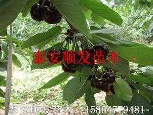 可盆栽樱桃树苗朱砂红樱桃新品种果树苗嫁接果苗图片