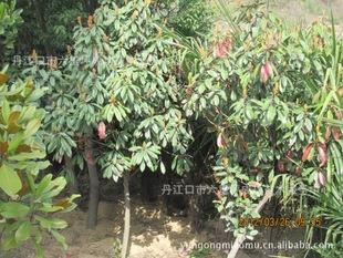 供应红叶石楠球大红叶石楠绿化苗木石楠苗石楠树