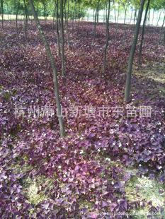 紫叶 红花 酢浆草 玉簪 三花三七 吉祥草 大花萱草 鸢尾 葱兰等图片