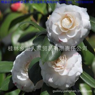 cm公分粗各种品种茶花树