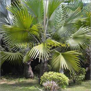 红棕榈黄棕榈种子