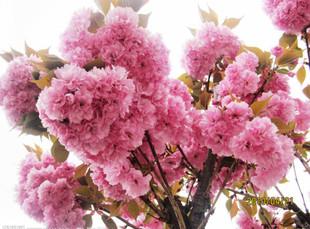 如何拍摄樱花