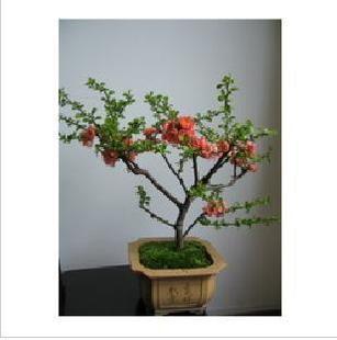 木瓜海棠/可盆栽/盆栽植物盆景花卉/|蔷薇图片及价格