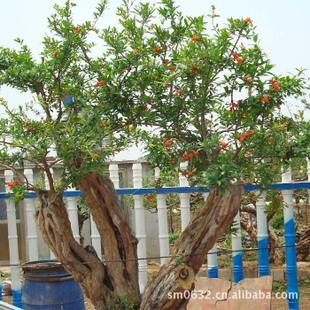 基地直供中型石榴盆景石榴树桩树型优美