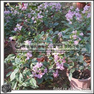 三叶梅 园林绿化苗木 常绿灌木 攀援花卉