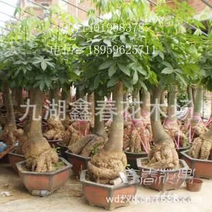 发财树盆景,大型发财树,办公室盆栽植物