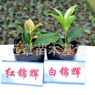 [珍贵品种]红锦辉茶花杯种植小苗