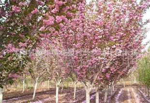 供应 优质樱花日本樱花各种速生樱花樱花小苗樱花价格优惠