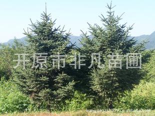 应云杉绿化苗木针叶树种乔木行道树